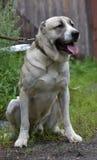Asian Shepherd Dog Stock Photos