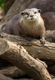 Asian Short Clawed Otter Stock Photo