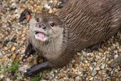 Asian Short Clawed Otter Royalty Free Stock Image