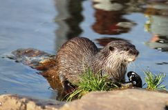 Asian short-clawed Otter aonyx cinerea Martin Mere Royalty Free Stock Image