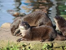 Asian short-clawed Otter aonyx cinerea Martin Mere. Three asian small-clawed otters (aonyx cinerea) at the edge of the pool in their enclosure at the WWF Stock Images