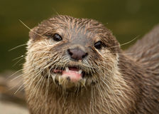 Asian short-clawed otter Royalty Free Stock Photography
