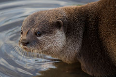 Asian Short Clawed Otter Royalty Free Stock Photo