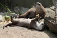 Asian Short Clawed Otter Playing Royalty Free Stock Photography