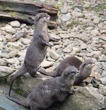 Asian short clawed otters searching for dangers. Stock Image