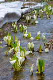 Asian skunk-cabbage Stock Photography