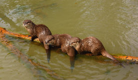 Asian small claw otter (Aonyx cinerea) Stock Photography