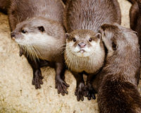Asian small claw otters Stock Photo