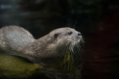 Asian Small-clawed Otter Stock Photography