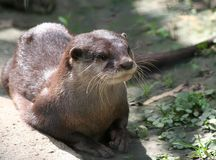 Asian small-clawed otter Stock Photo