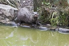 The Asian small-clawed otter, also known as the oriental small-clawed otter, Amblonyx cinereus stock images