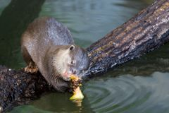 Asian small-clawed otter. Amblonyx cinerea or Aonyx cinereus royalty free stock images