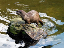 Asian Small-clawed Otter - Amblonyx-cinerea Royalty Free Stock Photos