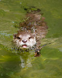 Asian small clawed otter (amblonyx cinereus) swimming Royalty Free Stock Image