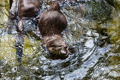 Asian small clawed otter Royalty Free Stock Photo