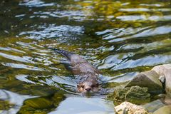 The Asian small-clawed otter, Aonyx cinerea stock photo