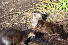 Asian small clawed otter aonyx cinerea stock photo