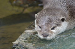 Asian small clawed otter - Aonyx Cinerea Stock Photo
