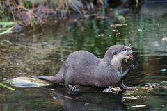 Asian Small-clawed Otter Royalty Free Stock Photos