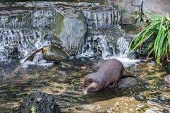 Asian Small-clawed Otter. Aonyx cinerea syn. Amblonyx cinereus royalty free stock photos