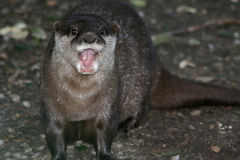 An asian small-clawed otter is grumbling at the zoo of Sables-dOlonne (France) Stock Photo