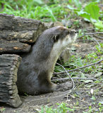 Asian Small Clawed Otter in Hollow Log Royalty Free Stock Photo