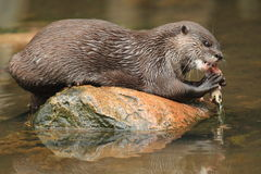 Asian small-clawed otter Stock Images