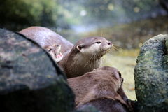 Asian Small Clawed Otter Stock Image
