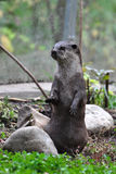 Asian Small-Clawed Otter Royalty Free Stock Photo