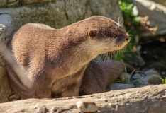 Asian small clawed otter at Wellington zoo stock photo