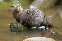 Asian small-clawed otter Stock Photos
