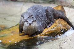 Asian Small-Clawed Otters Royalty Free Stock Photo