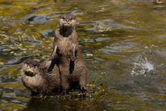 Asian small clawed otters Stock Photo