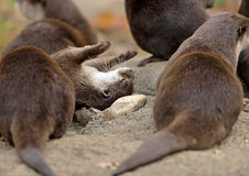 Asian small-clawed otters Stock Image