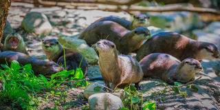 Asian small-clawed otters Royalty Free Stock Image