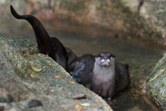 Asian small-clawered otter Royalty Free Stock Photos