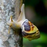 Asian Snail in Bali Stock Image