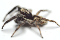 An Asian Spider Stock Photography