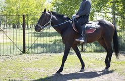 Brown trained colt with long mane on ranch,saddle and bridle stock photo