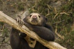 Asian Sun Bear Stock Photos