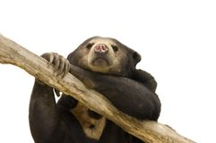 Asian Sun Bear Royalty Free Stock Images