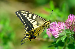 Asian swallowtail Stock Image