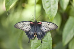 Asian Swallowtail butterfly Stock Photos