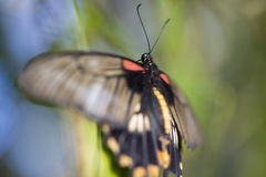 Asian Swallowtail Butterfly. Resting on a leaf Royalty Free Stock Photos