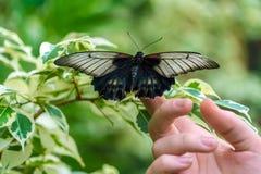 Asian swallowtail Papilio lowi Stock Photo