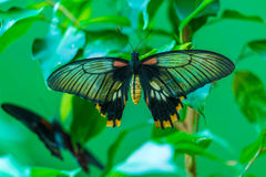 Asian swallowtail Papilio lowi Royalty Free Stock Photo