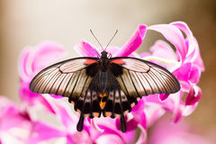 Asian Swallowtail tropic butterfly sucking nectar Stock Image