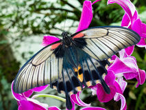 Asian Swallowtail tropic butterfly sucking nectar. Asian Swallowtail, Papilio lowi, tropical butterfly rests on orchid blossom sucking nectar stock photos