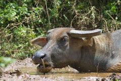Asian swamp buffalo head Stock Photo