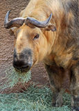 Asian Takin Royalty Free Stock Photo
